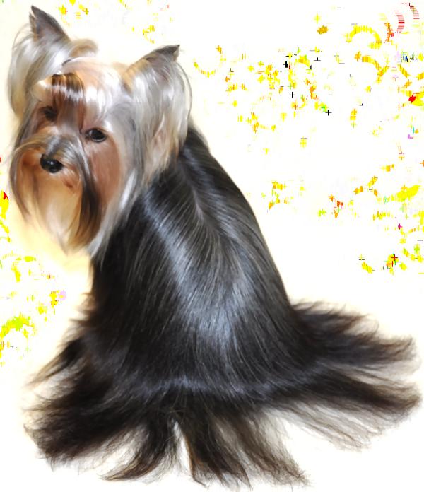 Yorkshire Terrier Grooming