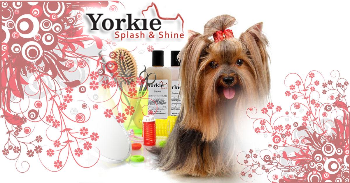 Amazing Yorkie Grooming Yorkie Splash And Shine Hairstyle Inspiration Daily Dogsangcom